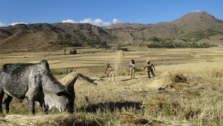 Threshing in Northern Ethiopia (refer to: Transnational Call for Research Proposals: Food and Nutrition Security in Africa)