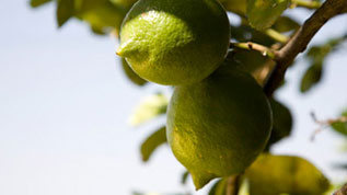 Lemons on a tree branch
