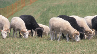 sheep on a field (refer to: Red List updated: About 71 percent of indigenous farm animal breeds are endangered)