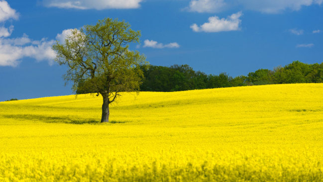 A rapeseed field in full bloom